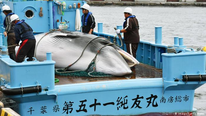 A minke whale hunted for research purposes is seen on a Japanese boat