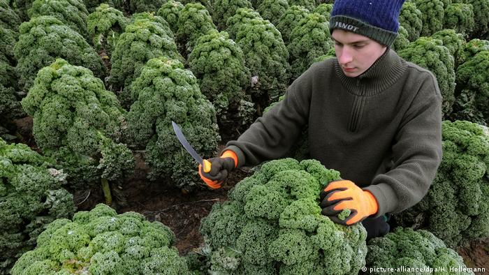 A person harvesting kale (picture-alliance/dpa/H. Hollemann)
