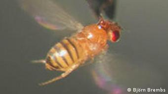 Fruit Fly Fruchtfliege Drosophila