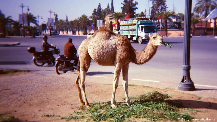 Marokko Dromedar in Marrakesch (Getty Images/V. Hache)