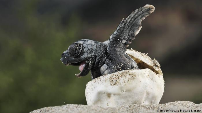 Loggerhead sea turtle (Caretta caretta) emerging from shell, Dalyan delta, Turkey (Imago/Nature Picture Library)