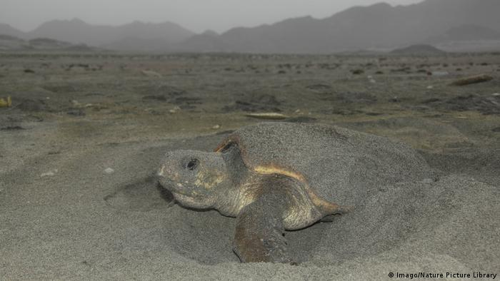 Loggerhead turtle (Caretta caretta) female on beach covering up her eggs in Oman (Imago/Nature Picture Library)