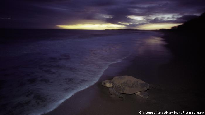 Loggerhead Turtle returning to sea after egg laying at night (picture-alliance/Mary Evans Picture Library)