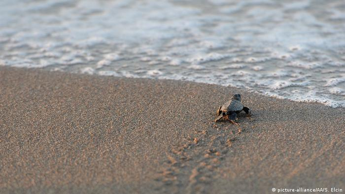 A newly hatched Loggerhead turtle (Caretta Caretta) makes its way to the sea in Antalya's Belek district, Turkey