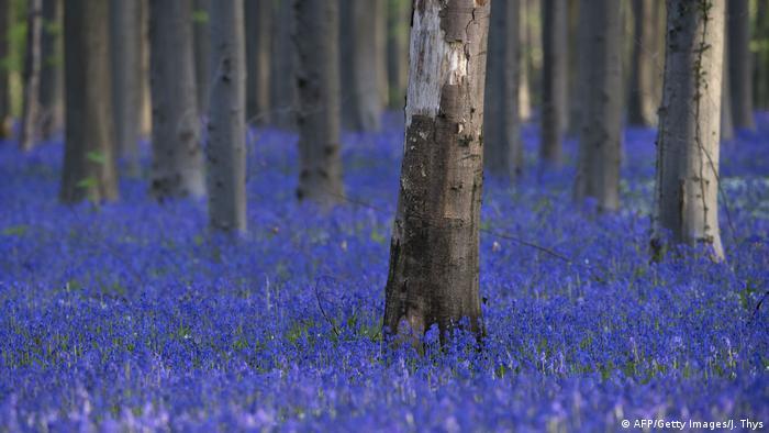Belgien Wald mit blauen Blumen (AFP/Getty Images/J. Thys)