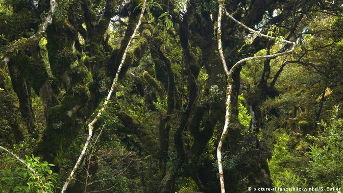 Neuseeland Goblin Wald (picture-alliance/blickwinkel/S. Sailer/A. Sailer)