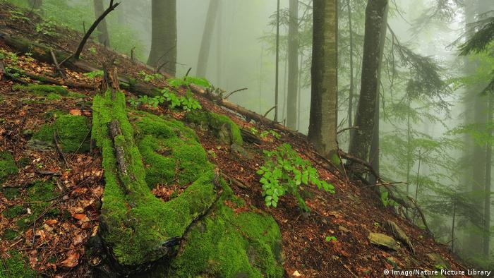 Rumänien Wald mit Moos (Imago/Nature Picture Library)