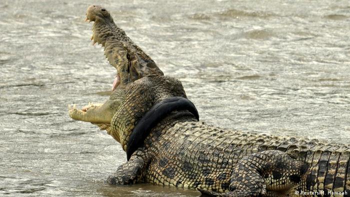 Indosien Müll Gewässer Krokodil mit altem Reifen (Reuters/M. Hamzah)