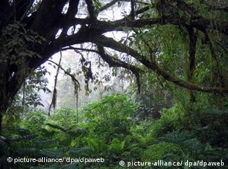 Am Kamerunberg (4095m) ist die Vegetation wegen des fruchtbaren Lavabodens sehr üppig (Archivfoto vom 22.10.2005). Kamerun, die ehemals deutsche Kolonie an der westafrikanischen Küste, macht eine Menge Geld mit dem Handel von Tropenholz - wie viel genau, kann niemand sagen. Doch nach Schätzungen von Experten wird etwa die Hälfte davon immer noch illegal geschlagen. Umweltschützer warnen seit Jahren, dass die Fläche der Regenwälder sich dramatisch verringert. Weltweit schrumpft die Waldfläche nach Angaben der Vereinten Nationen etwa um sechs Millionen Hektar pro Jahr. Foto: Ulrike Koltermann (zu dpa Korr.-Bericht Kamerun verdient am Tropenholz vom 22.12.2005) +++(c) dpa - Bildfunk+++
