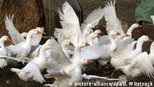 09.11.2016 +++ Auf dem Hof Walden in Saal (Mecklenburg-Vorpommern) sind am 09.11.2016 Gänse im Freien unterwegs. Nachdem in Mecklenburg-Vorpommern erste Fälle der Geflügelpest nachgewiesen wurden, hat Landes-Agrarminister Backhaus am 10.11.2016 die Stallpflicht angewiesen. Bis zum 13.11.2016 müssen alle Vögel von der Freilandhaltung unter ein Dach. Für den Biohof Walden geht es diesmal glimpflich aus, denn die Gänse für den Martinstag werden bis zu diesem Termin geschlachtet sein, die Hühner kommen in einen fahrbaren Unterstand. Foto: Bernd Wüstneck/dpa-Zentralbild/dpa | Verwendung weltweit