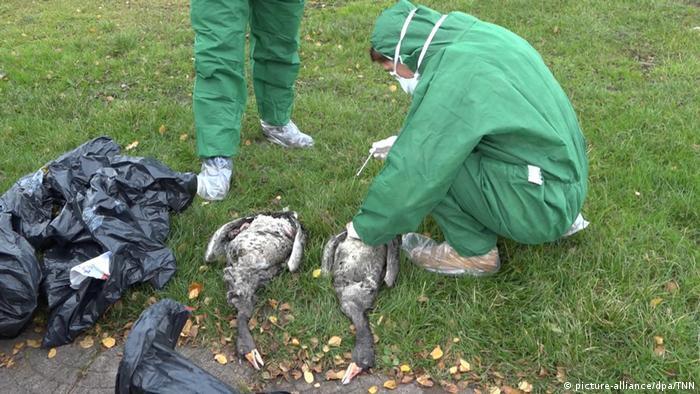Geflügelpest / Vogelgrippe im Norden (picture-alliance/dpa/TNN)