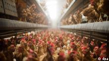 10.9.2014 *** ARCHIV- Legehennen stehen am 10.09.2014 in im Stall eines Betriebes für die Produktion von Eiern aus Freilandhaltung. Die Ausbreitung der Vogelgrippe in Deutschland und anderen Ländern bringt nun auch in vielen niedersächsischen Landkreisen das Geflügel in den Stall. Foto: Julian Stratenschulte/dpa (zu dpa Gefahr durch Vogelgrippe zwingt Federvieh in den Stall vom 12.11.2016) +++(c) dpa - Bildfunk+++