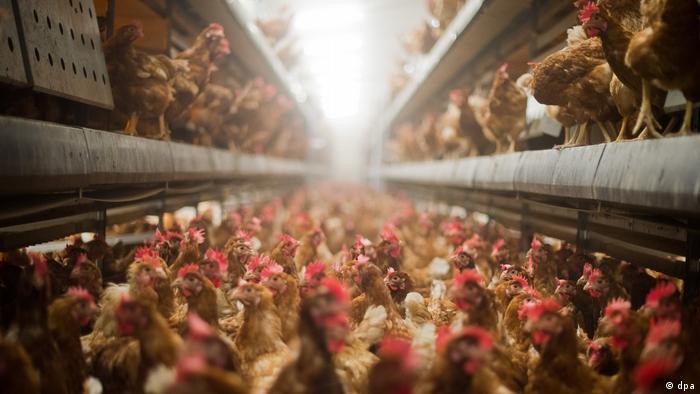 Poultry on a German battery farm