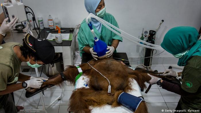 Operasi dilakukan terhadap orangutan yang terluka di di konservasi Sumatran Orangutan Conservation Programm (SOCP), Kuta Mbelin, Sumatera Utara.
