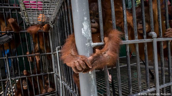 Indonesien Orang-Utans Bedrohung durch Waldrodung