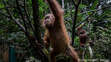 Indonesien Orang-Utans Bedrohung durch Waldrodung (Getty Images/U. Ifansasti)