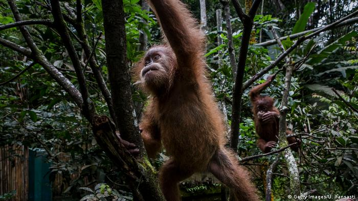 Baby Sumatran orangutans playing in trees at a rehabilitation center