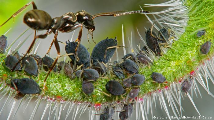 Ameisen und Blattläuse (picture-alliance/blickwinkel/S. Derder)