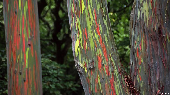 Rainbow eucalyptus trees on Hawaii (Imago)