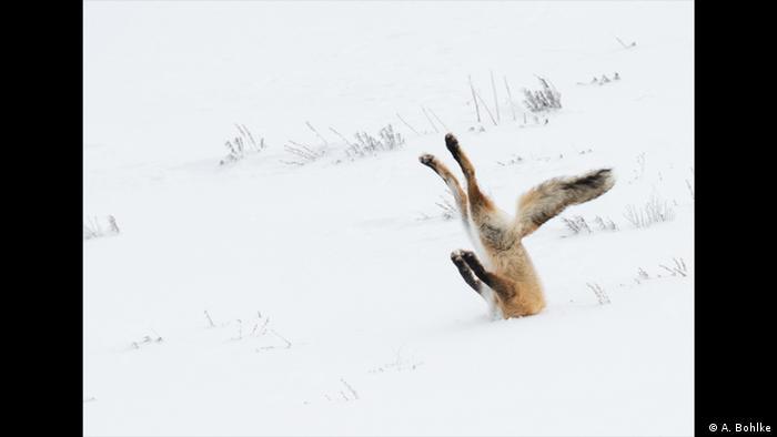 Ein Fuchs steckt mit seinem Kopf tief im Schnee, als er seine Beute jagt. nur der Schwanz und seine Beine schauen noch raus. (Foto: A. Bohlke)