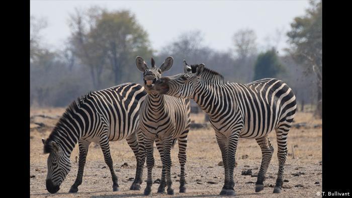 Drei Zebras stehen zusammen. Eins grast, eins lacht ganz breit und das dritte verteilt Kücsschen. (Foto: T. Bullivant)