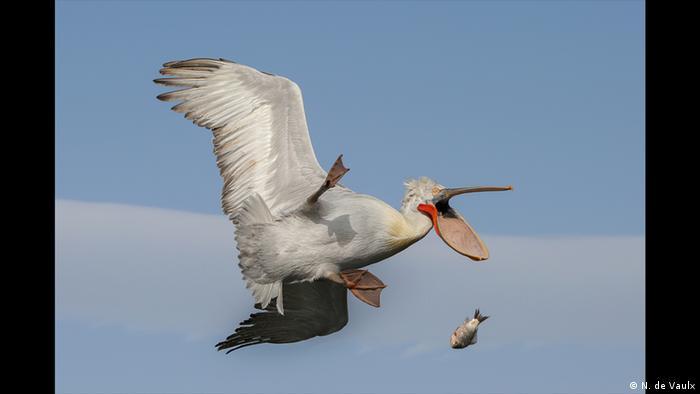 Ein Pelikan fliegt am Himmel und verliert aus seinem Schnabel einen Fisch. (Foto: N. de Vaulx)