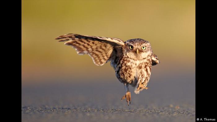 Eine kleine Eule streckt einen ihrer Flügel exakt im 90-Grad-Winkel aus und läuft über den Boden. (A. Thomas)