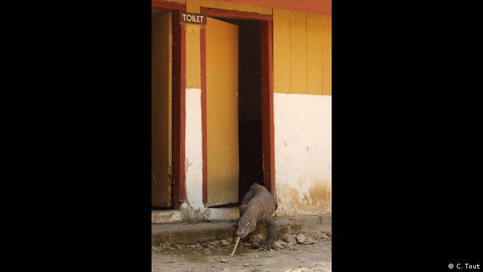 Ein riesiger Waran kommt aus der Tür eines Toilettenhäusschens. (Foto: C. Tout)