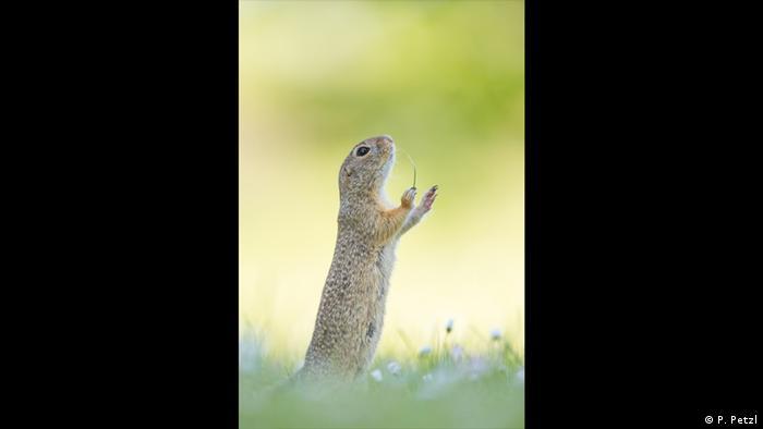 Ein Erdhörnchen hält eine Gänseblume in der Hand. Es sieht so aus, als würde es ein Orchester dirigieren. (Foto: P. Petzl)