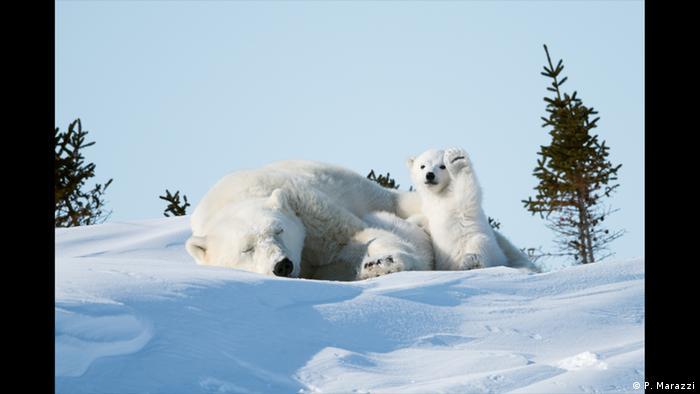 Ein Eisbärbaby sitzt neben seiner schlafenden Mutter und winkt. (Foto: P. Marazzi)