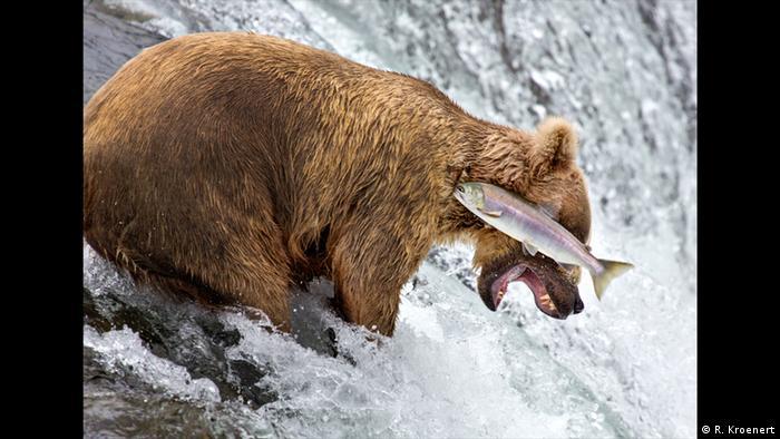 Ein Lachs springt aus dem reißenden Fluss und attackiert einen Grizzlybären. (Foto: R. Kroenert)