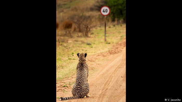 Ein Gepard sitzt vor einem Verkehrsschild, dass eine maximale Gewindigkeit von 40 Meilen pro Stunde vorgibt. (Foto: V. Jessnitz)