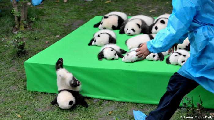 China Chengdu Panda Forschungsstation Pandazucht Unglück (Reuters/China Daily)
