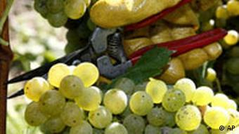 Grapes on a vineyard in Southern Germany