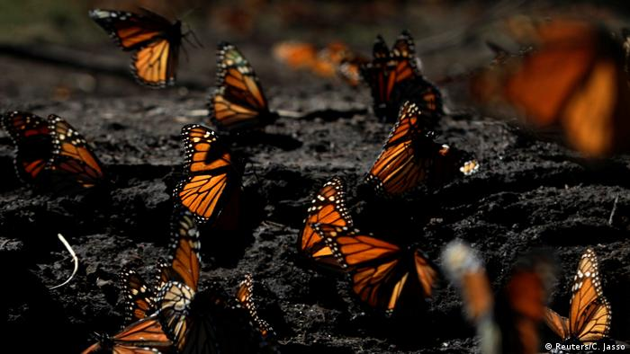 Monarch butterflies rest on the ground at the Sierra Chincua butterfly sanctuary on a mountain in Angangeo, Michoacan November 24, 2016 (Reuters/C. Jasso)