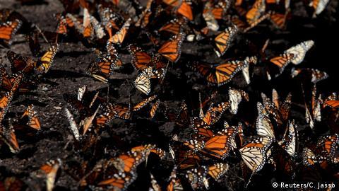blauhäher und monarchfalter