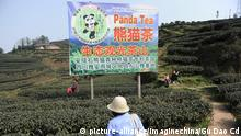 China Panda-Teeplantage (picture-alliance/Imaginechina/Gu Dao Cd)