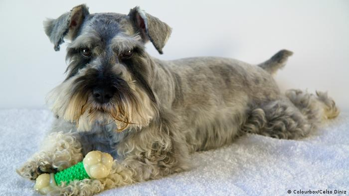 Schnauzer (Foto: Colourbox/Celso Diniz)