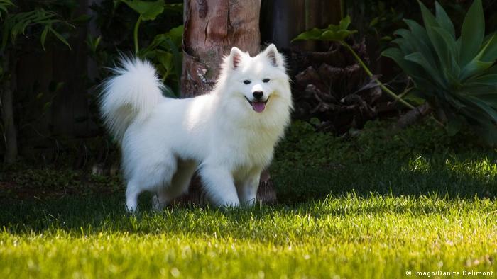 American Eskimo dog (Imago/Danita Delimont)
