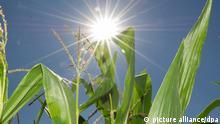 ARCHIV - ILLUSTRATION- Maispflanzen stehen am 02.08.2013 auf einem Feld bei Hannover (Niedersachsen). (zu dpa Die das Gras wachsen hören vom 28.11.2016) +++(c) dpa - Bildfunk+++ | Verwendung weltweit