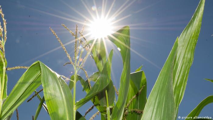 Maispflanze (picture alliance/dpa)