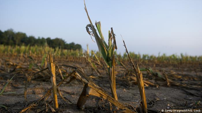 Rows of corn severely damaged by widespread drought in Indiana