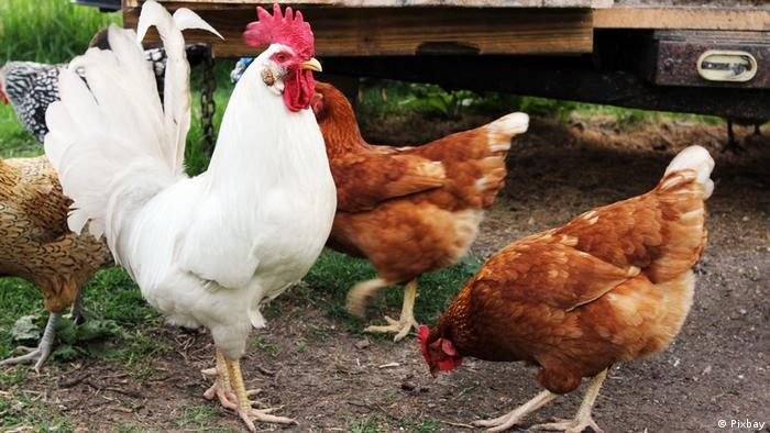 Las gallinas, animales inteligentes y empáticos | Ciencia y Ecología | DW | 04.01.2017