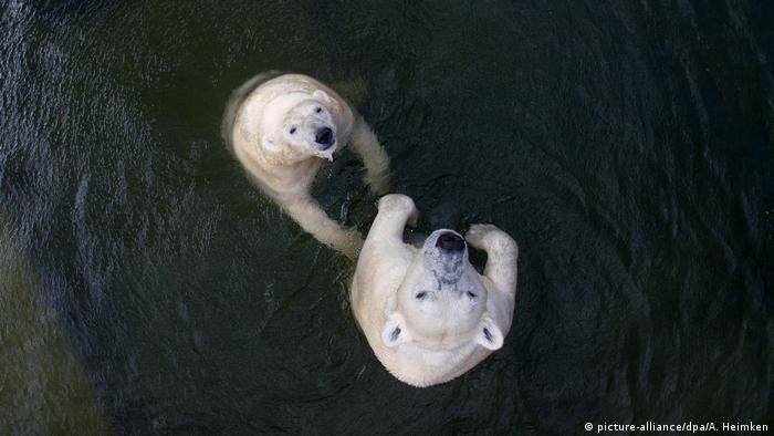 Drohnenbild Eisbären kühlen sich bei Hitze ab (picture-alliance/dpa/A. Heimken)