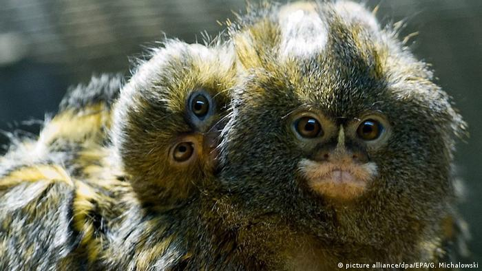 A newborn pygmy marmoset (or dwarf monkey) clings to its mother in the Zoo in Lodz, Poland