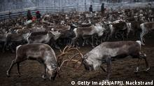 Two reindeers from the herd of Vilhelmina Norra Sameby fight as gathered in a corral for selection and calf labelling on October 27, 2016 near the village of Dikanaess, about 800 kilometers north-west of the capital Sweden. / AFP / JONATHAN NACKSTRAND (Photo credit should read JONATHAN NACKSTRAND/AFP/Getty Images)