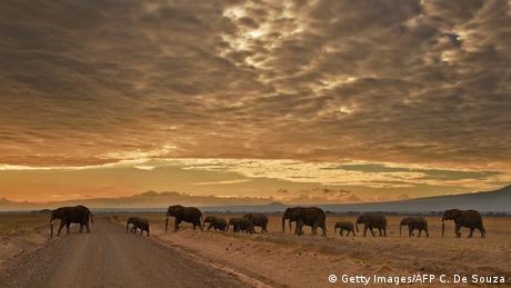 Afrika Kenia Elefanten Amboseli National Park (Getty Images/AFP C. De Souza)
