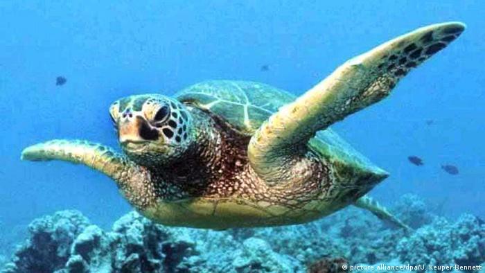 Artenvielfalt Grün-Schildkröte (picture alliance/dpa/U. Keuper-Bennett)
