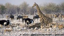 Giraffe (Giraffa camelopardalis), Am Wasserloch, Namibia, Kunene. Omusati. Oshana. Oshikoto, Etoscha NP | giraffe (Giraffa camelopardalis), at the waterhole, Namibia, Kunene. Omusati. Oshana. Oshikoto, Etosha NP | Verwendung weltweit