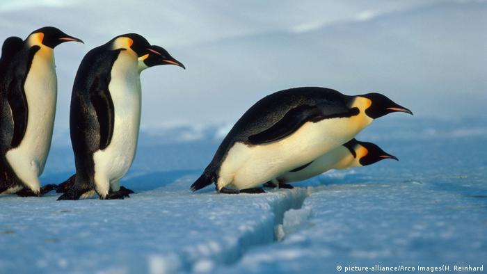 Emperor penguins. Photo credit: picture-alliance/Arco Images - H. Reinhard.